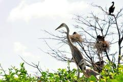 Deux poussins de héron de grand bleu dans le nid Photographie stock libre de droits