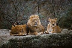 Deux prédateurs adultes, la famille d'un lion et une lionne se reposent sur une pierre dans le zoo de la ville de Bâle en Suisse  photographie stock libre de droits