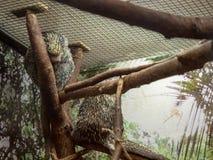 Deux prehensilis préhensile-coupés la queue de coendou de porcs-épics se reposant sur une branche d'arbre à l'intérieur d'un obje image libre de droits