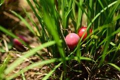 Deux prunes rouges tombées sur des herbes Photographie stock