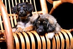 Deux pupppies mignons s'étendant sur une chaise de basculage de rotin Photo libre de droits