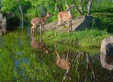 Deux réflexions de cerfs communs coupées la queue par blanc et d'eau de bébé Photo libre de droits
