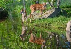 Deux réflexions de cerfs communs coupées la queue par blanc et d'eau de bébé Photos libres de droits