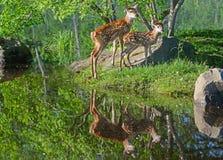 Deux réflexions de cerfs communs coupées la queue par blanc et d'eau de bébé Photos stock
