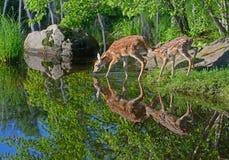 Deux réflexions de l'eau de cerfs communs Blanc-coupées la queue par bébé Photo stock