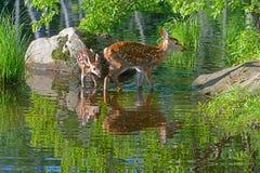 Deux réflexions de l'eau de cerfs communs Blanc-coupées la queue par bébé Image libre de droits