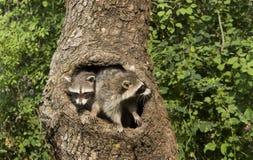 Deux Racoons dans un trou photo stock