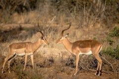 Deux RAM d'impala se faisant face photographie stock libre de droits