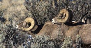 Deux RAM de moutons de Big Horn Image libre de droits
