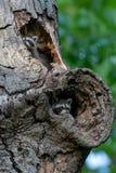 Deux ratons laveurs de bébé se cachant à l'intérieur de l'arbre images stock