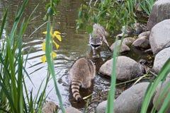Deux ratons laveurs disposent à combattre entre les pierres dans l'étang image libre de droits