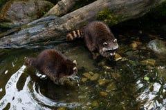 Deux ratons laveurs nettoient en rivière sur le bord de mer image libre de droits
