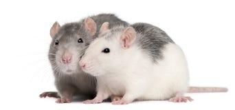 Deux rats, 12 mois, devant le fond blanc photos libres de droits