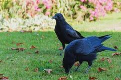 Deux Ravens et x28 communs ; Corax& x29 de Corvus ; photo stock