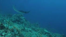 Deux rayons de Manta sur un récif coralien banque de vidéos