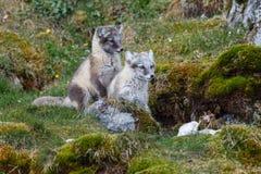 Deux renards arctiques se repose sur l'herbe verte Photographie stock libre de droits