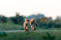 Deux renards au coucher du soleil Images stock
