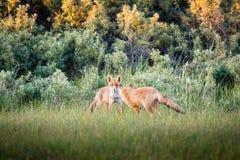 Deux renards au coucher du soleil Photographie stock libre de droits