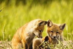 Deux renards de bébé Images stock