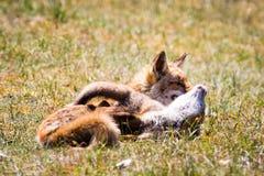 Deux renards jouant dans l'herbe Photo libre de droits