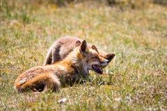 Deux renards jouant dans l'herbe Image stock