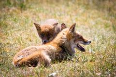 Deux renards jouant dans l'herbe Images stock