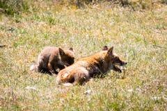 Deux renards jouant dans l'herbe Images libres de droits