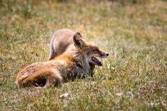 Deux renards jouant dans l'herbe Photographie stock libre de droits