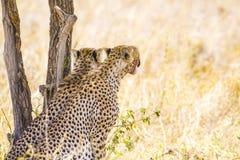 Deux repos de guépards sous l'arbre après repas dans Serengeti Image libre de droits