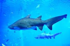 Deux requins dans l'aquarium Photographie stock libre de droits
