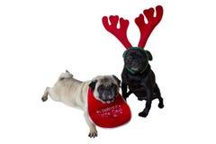 Deux roquets utilisant le vêtement de Noël Photos stock