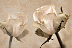 Deux roses Photo stock