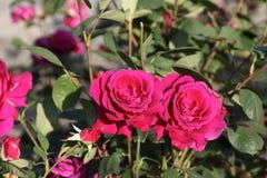 Deux roses Photo stock