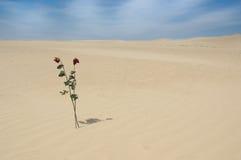 Deux roses dans le désert Image stock