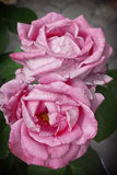 Deux roses roses Images stock