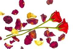 Deux roses rouges avec les pétales secs image libre de droits