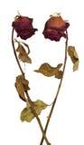 Deux roses sèches mortes sur le fond blanc image stock