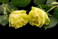 Deux roses vertes, d'isolement sur le noir Photographie stock