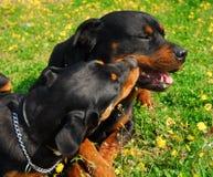 Deux rottweilers Photos libres de droits