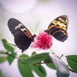 Deux rouges et papillons jaunes sur la fleur à l'arrière-plan abstrait Photos libres de droits