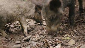 Deux sangliers frôlent pendant la vie sauvage de forêt de la forêt banque de vidéos