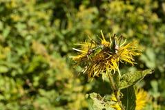 Deux sauterelles sur une fleur de grande aunée photos stock