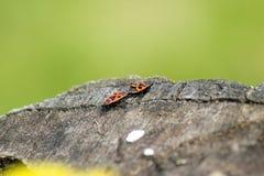 Deux scarabées Photos stock