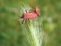 Deux scarabées Image stock