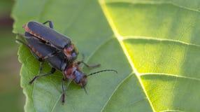 Deux scarabées de soldat ou mâle de cantharidae et compagnon féminin sur les feuilles vertes Image stock