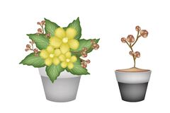 Deux Simpor jaune frais dans des pots de fleur Photo stock