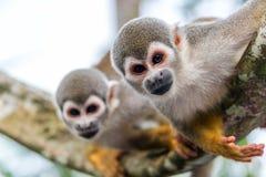 Deux singes-écureuils Image libre de droits