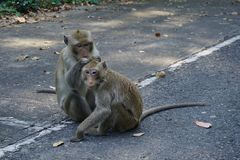 Deux singes adultes photo stock