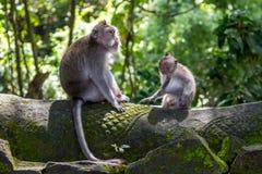 Deux singes dans la forêt de Bali Ubud Photo stock