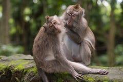 Deux singes dans la forêt près d'Ubud, Bali Images libres de droits